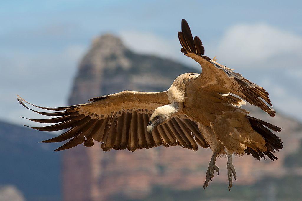 vultures Dolno Ozirovo